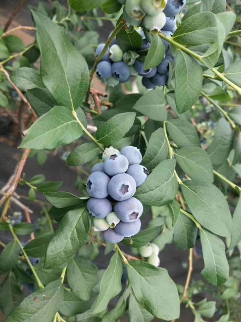 蓝丰蓝莓 鲜果 15mm以上