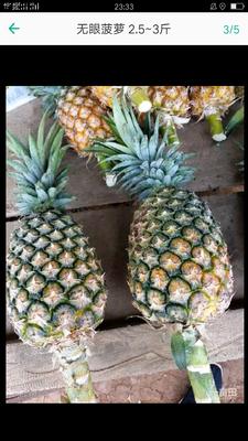 云南省西双版纳傣族自治州景洪市无眼菠萝 1.5 - 2斤