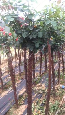 河南省南阳市卧龙区树状月季
