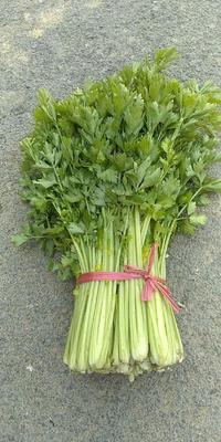 山东省滨州市博兴县法国皇后芹菜 55~60cm 露天种植 0.5~1.0斤