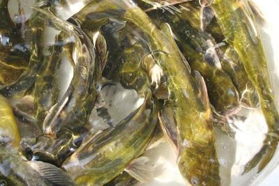 四川省达州市通川区池塘黄颡鱼 人工殖养 0.1龙8国际官网官方网站