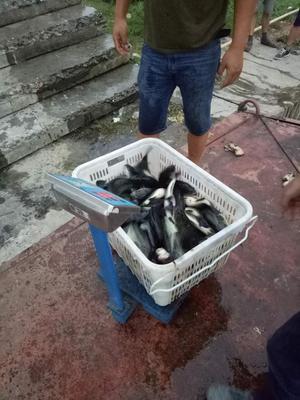 湖北省襄阳市老河口市加州鲈鱼 人工养殖 1-1.5公斤