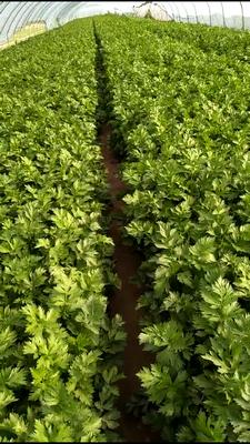 陕西省榆林市靖边县西芹 60cm以上 大棚种植 0.5~1.0斤