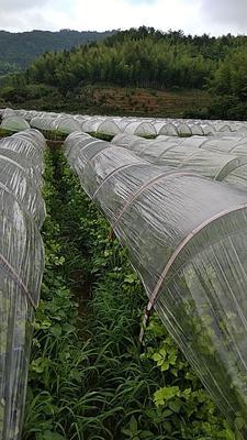 福建省龙岩市新罗区毛芹 50~55cm 大棚种植 1.5~2.0斤