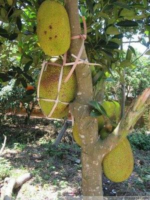广东省茂名市电白区菠萝蜜 15斤以上