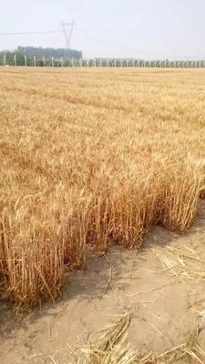 河北省保定市雄县彩色小麦