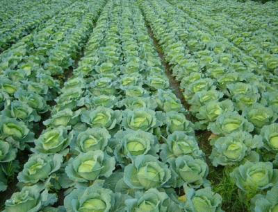 河北省石家庄市辛集市绿甘蓝 2.0~2.5斤