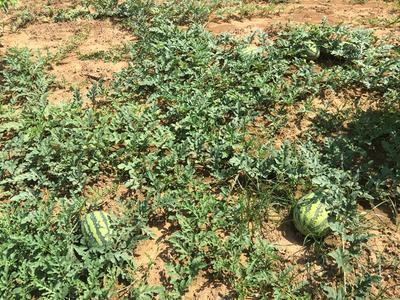 这是一张关于甜王西瓜 有籽 2茬 8成熟 8斤打底的产品图片