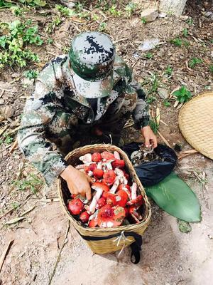 云南省西双版纳傣族自治州勐海县干大红菌 袋装 1年以上