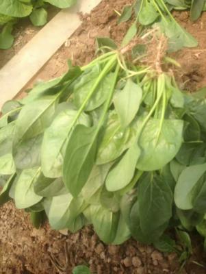 山东省菏泽市曹县大叶菠菜 20~25cm