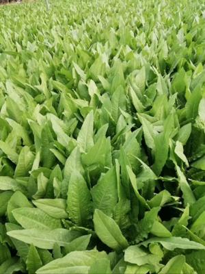 山东省菏泽市曹县美冠油麦菜 30~35cm以上