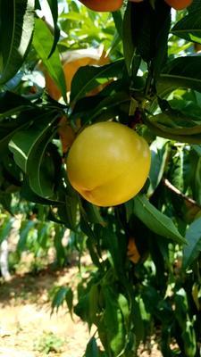 这是一张关于中油4号油桃 2两以上 50mm以上的产品图片