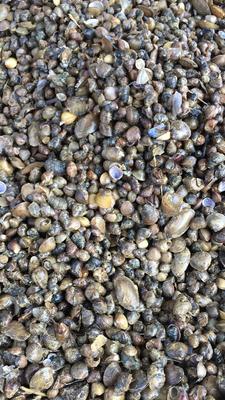 这是一张关于石螺 野生的产品图片