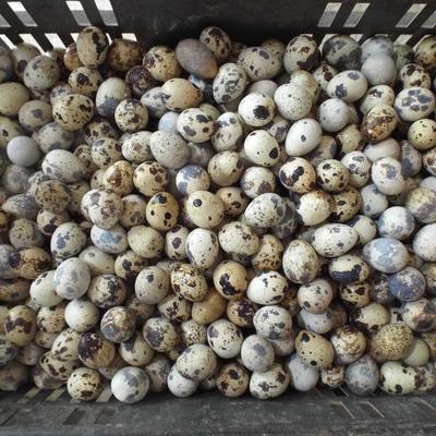 江西省抚州市金溪县黄羽鹌鹑蛋 食用 散装