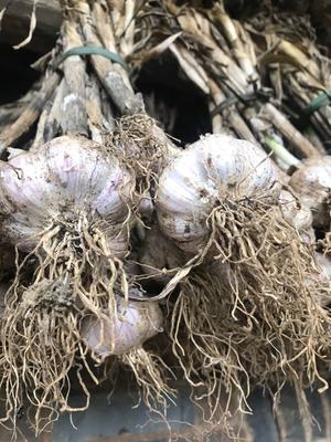 这是一张关于紫皮大蒜 混级统货 多瓣蒜的产品图片