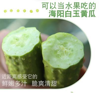 山东省烟台市福山区白玉黄瓜 18~22cm 鲜花带刺