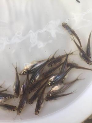 广东省佛山市南海区巴沙鱼 人工养殖 0.5公斤以下
