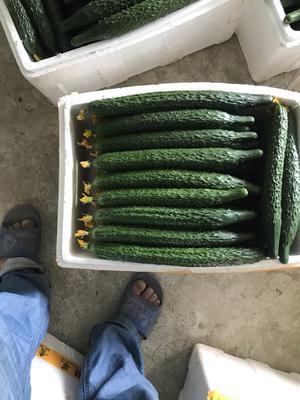江苏省苏州市常熟市刺黄瓜 22~25cm 鲜花带刺