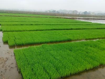 湖南省邵阳市洞口县优质晚稻品种 晚稻
