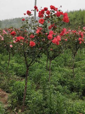 重庆垫江县树状月季