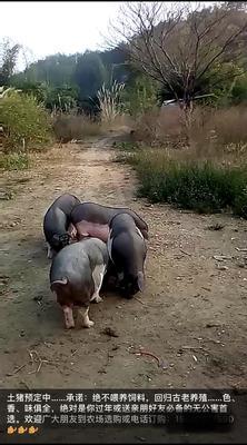 广东省韶关市南雄市土杂猪 140斤以上