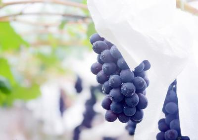 这是一张关于黑珍珠葡萄 5%以下 1次果 1-1.5斤的产品图片