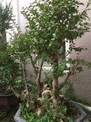 福建省漳州市龙海市紫薇老树桩