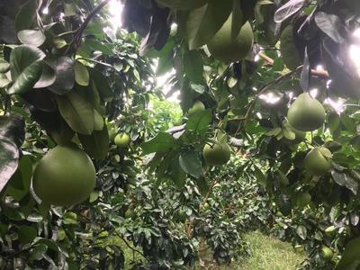 广东省梅州市梅县区蜜柚 2斤以上