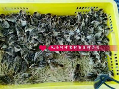 这是一张关于珍珠鸡苗的产品图片