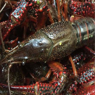 这是一张关于青壳小龙虾 人工殖养 4-6钱的产品图片