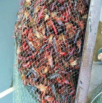 这是一张关于青红虾 人工殖养 4-6钱的产品图片