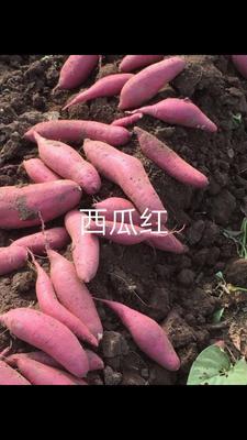 这是一张关于西瓜红 红皮 3两以上的产品图片