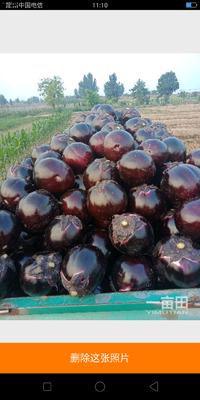 山东省德州市德城区大红袍圆茄 5两以上