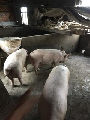 湖北省宜昌市夷陵区土杂猪 300斤以上