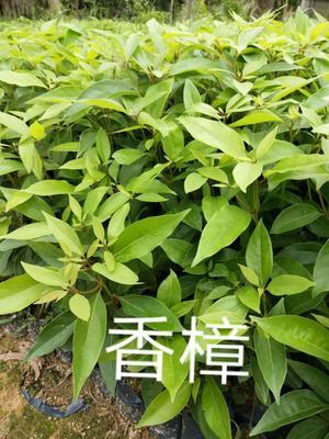 福建省漳州市漳浦县樟树苗