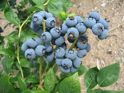 山东省青岛市黄岛区蓝丰蓝莓 鲜果 12 - 14mm以上