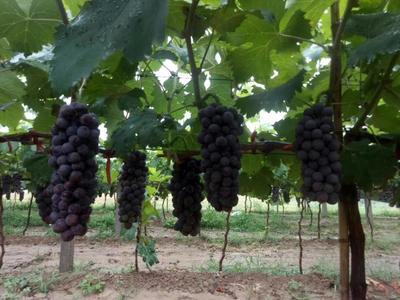 这是一张关于夏黑葡萄 5%以下 1次果 1-1.5斤的产品图片