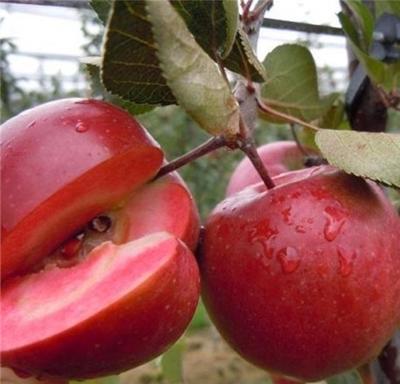山东省济宁市邹城市红色之爱苹果 光果 全红 65mm以上