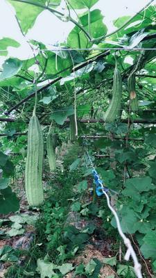 广西壮族自治区桂林市灵川县棱丝瓜 60cm以上
