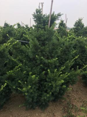 山东省青岛市平度市曼地亚红豆杉 1~1.5米