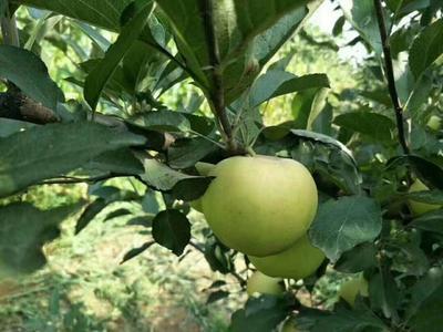 广东省广州市越秀区青苹果 纸+膜袋 翠绿 75mm以下