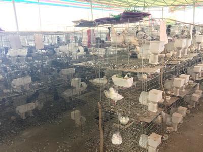广西壮族自治区来宾市兴宾区白羽王鸽 500-600克