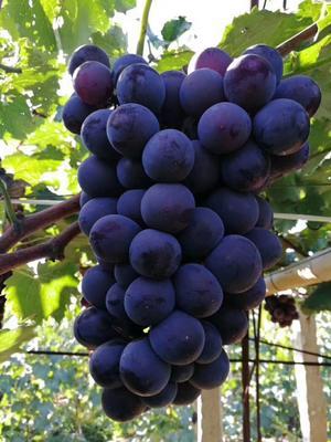 山东省青岛市莱西市巨峰葡萄 5%以下 1次果 1-1.5斤