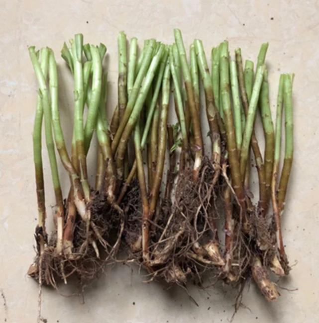 高钙菜种子