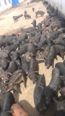 黑龙江省佳木斯市桦川县野猪二代串 20-25斤