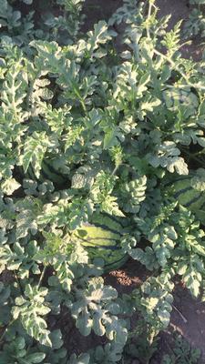 这是一张关于京欣西瓜 有籽 1茬 9成熟 5斤打底的产品图片