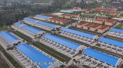 贵州省铜仁市沿河土家族自治县努比亚羊 300斤以上