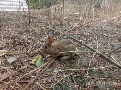 山东省菏泽市巨野县比利时兔 1-3斤