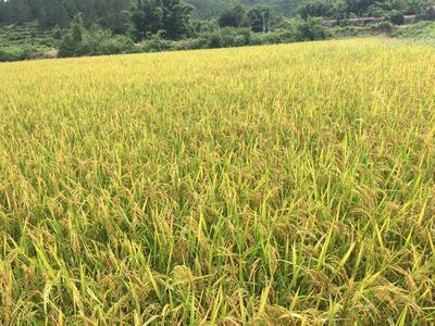 广东省广州市天河区台山象牙 早稻