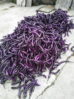 安徽省宣城市绩溪县紫长茄 2两以上